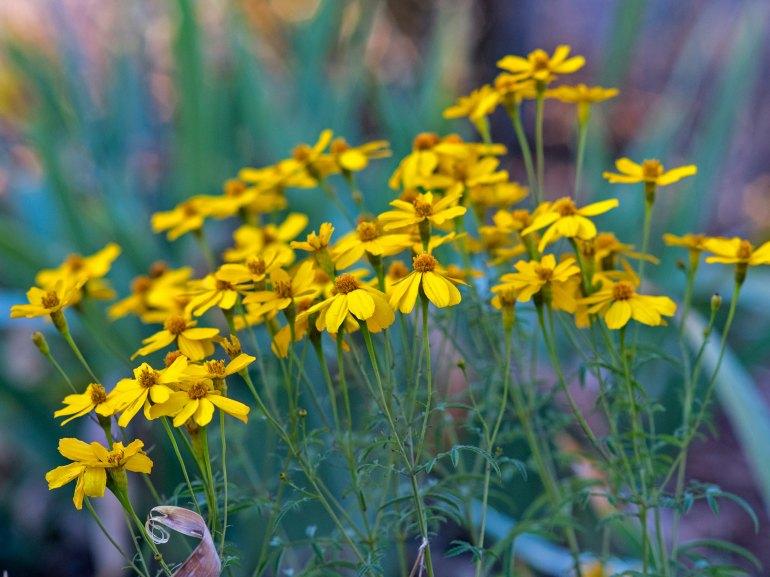 r-d_bush-marigold_810_4586