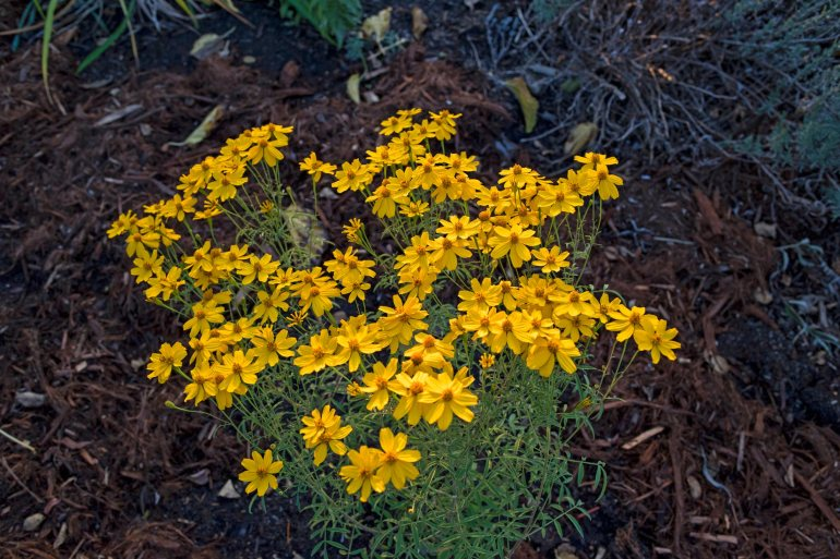 r-d_mex-bush-marigold_810_4981