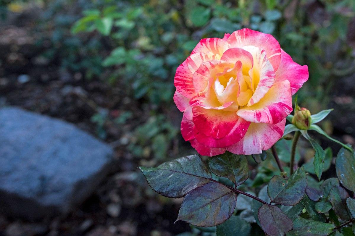 r-d_rock-rose_810_4957xx