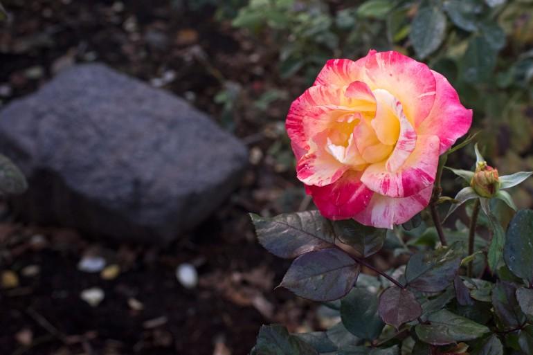 r-d_rock-rose_810_5058