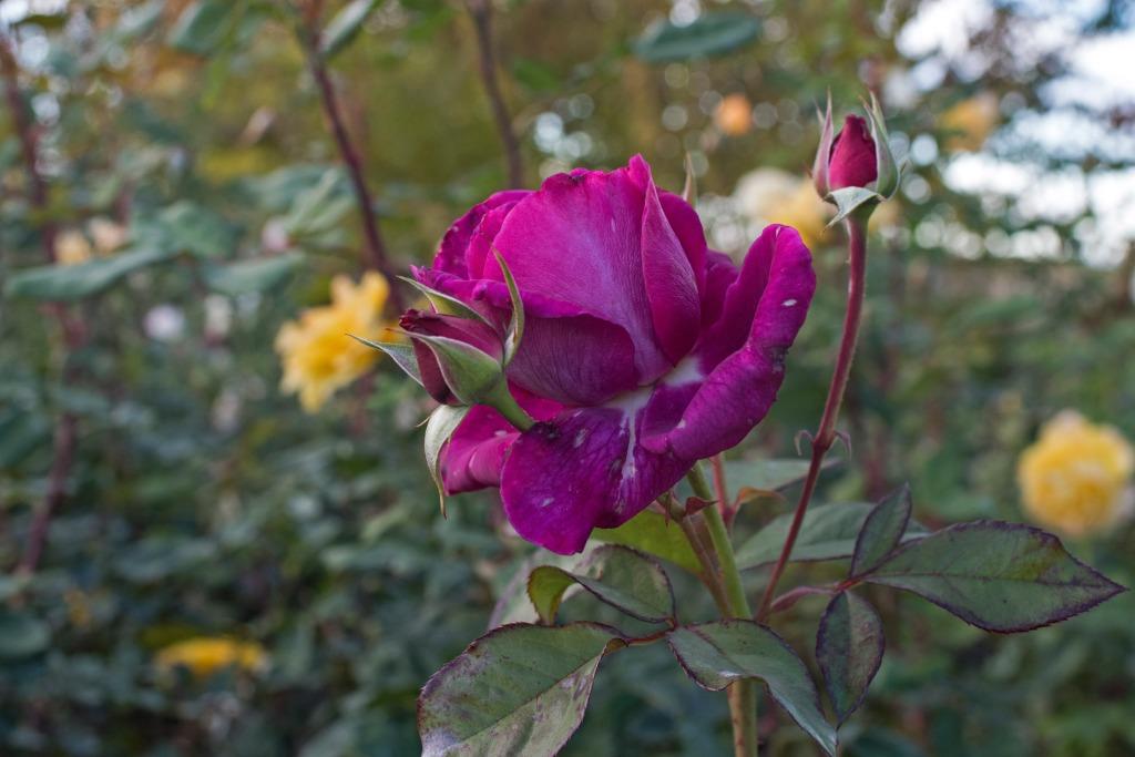 r-d_rose_810_5055