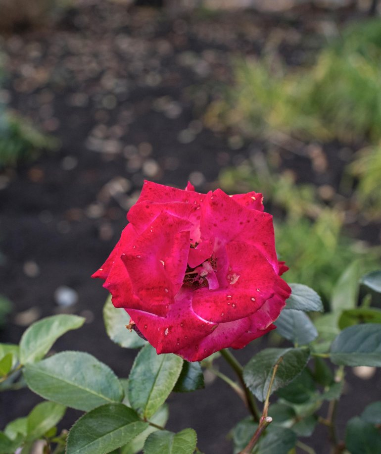 r-d_rose_810_5066