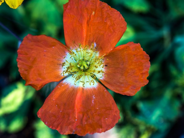r-d_ice-poppies_810_5665
