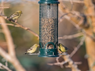 _r-d_goldfinches_810_9619