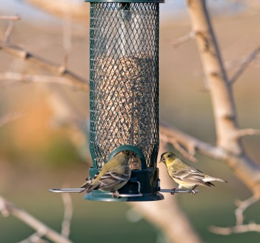 _r-d_goldfinches_810_9625