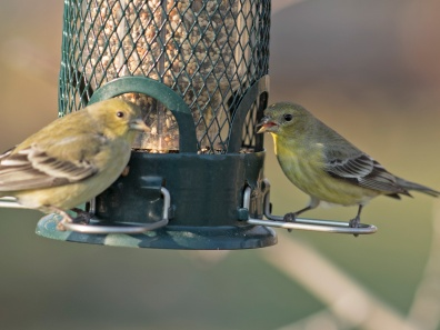 _r-d_goldfinches_810_9644