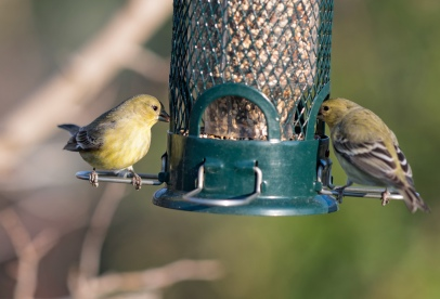 _r-d_goldfinches_810_9681