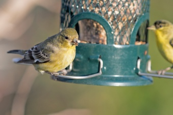 _r-d_goldfinches_810_9692