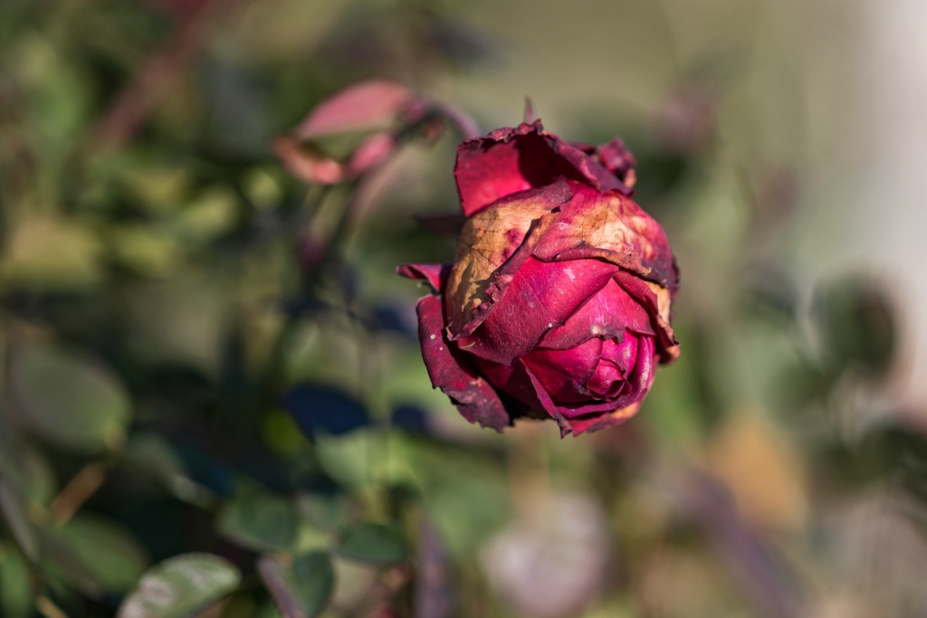 _r-d_rose_810_9428