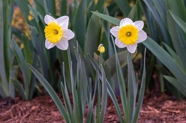 _r-d_daffodils_810_6025