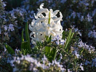 _r-d_hyacinth_750_5060