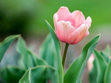 _r-d_tulip_810_6081