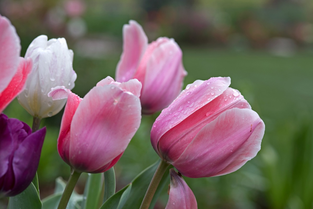 r-d_tulips-pink_750_6950