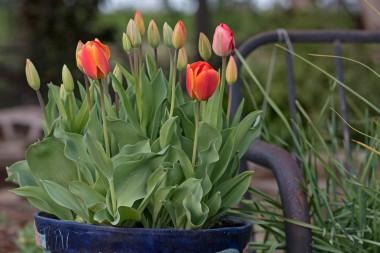 _r-d_tulips_750_6056