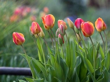 _r-d_tulips_810_5742