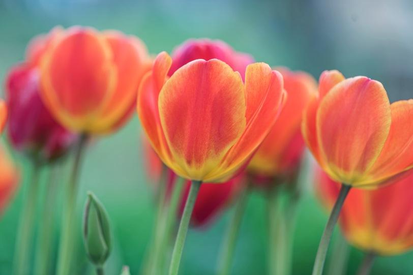 _r-d_tulips_810_6099