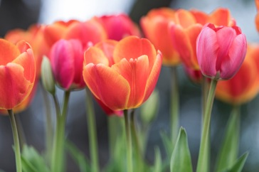 _r-d_tulips_810_6101