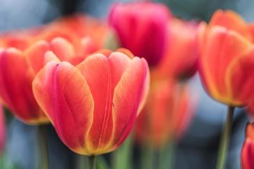 _r-d_tulips_810_6104