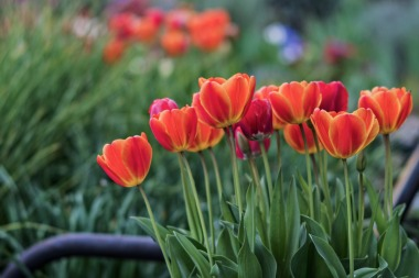 _r-d_tulips_810_6132