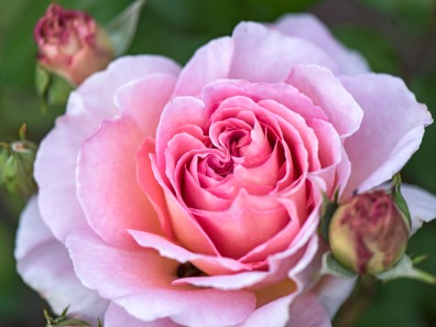 r-d_rose_810_9813
