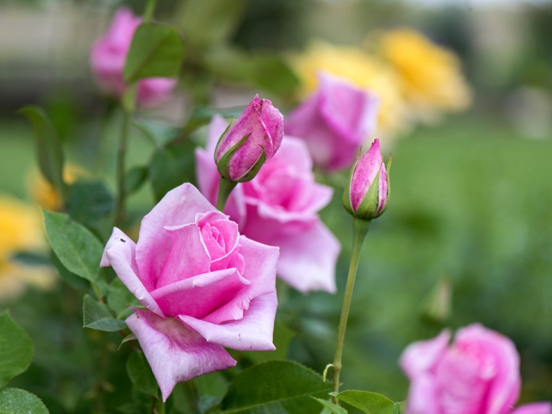 r-d_roses_810_9803