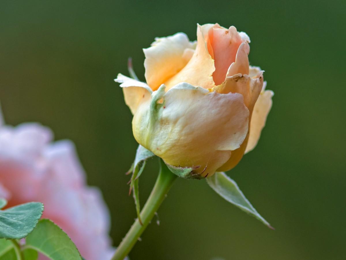 r-d_rose-kayla_500_1873