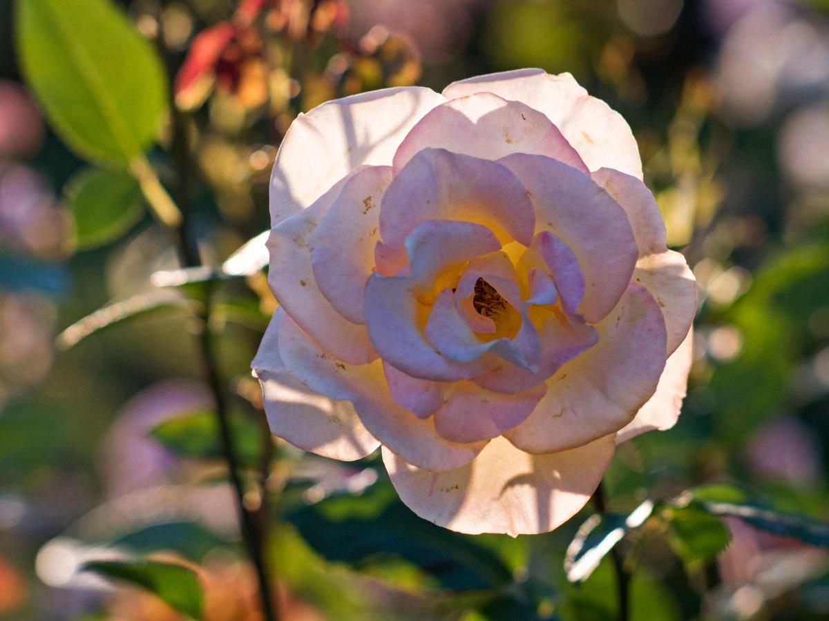r-d_rose_750_8887