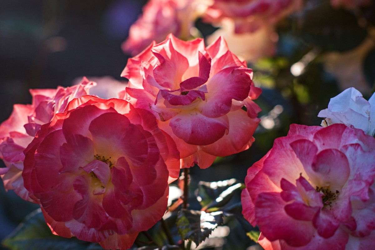 r-d_roses_750_8891