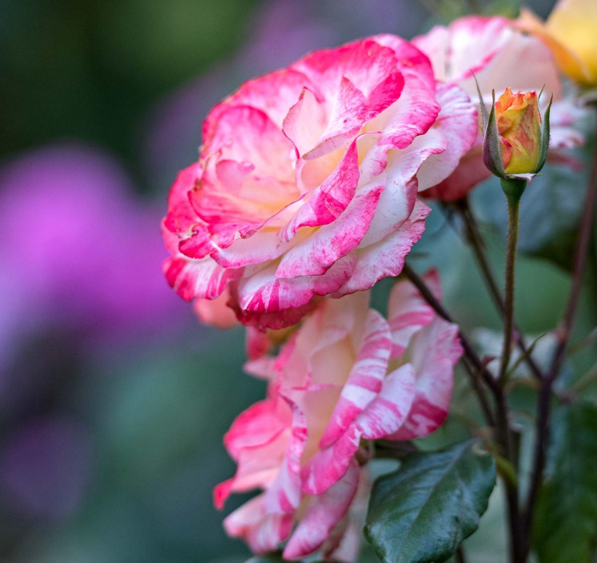 r-d_roses_810_1524