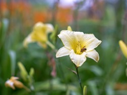 r-d_bee-daylily_8103732