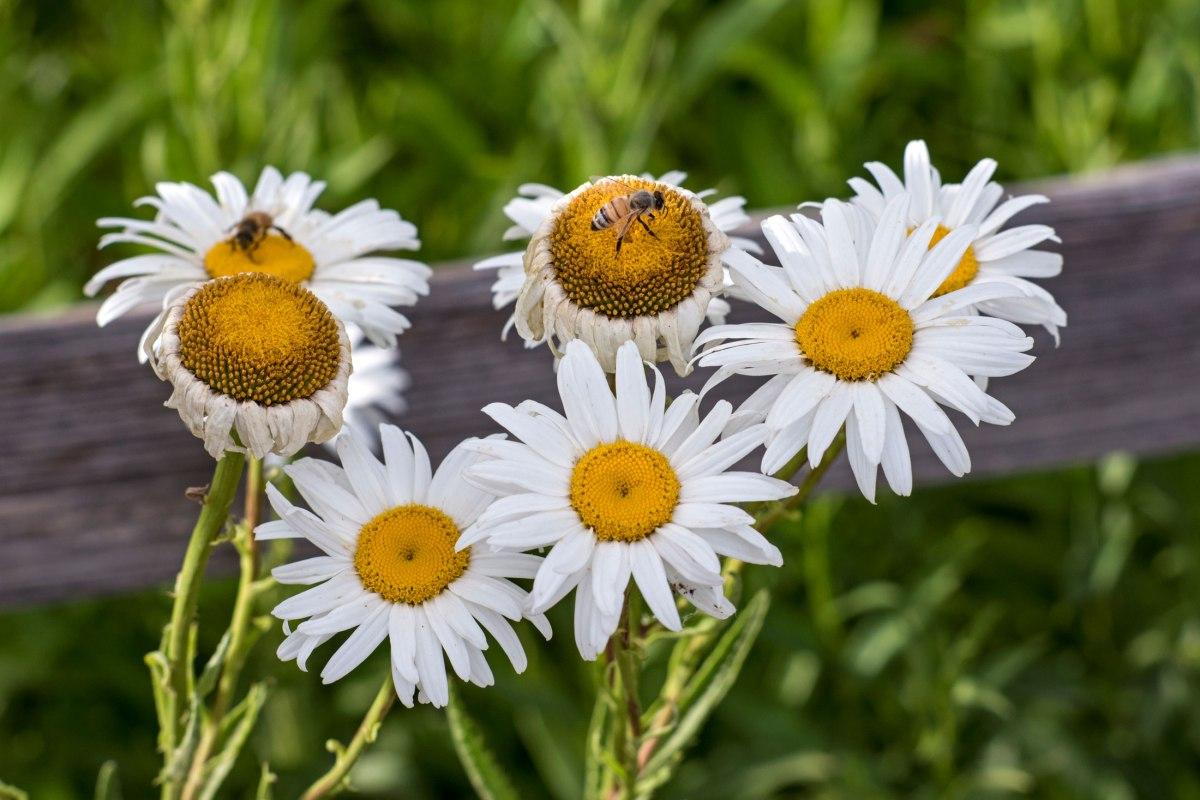 r-d_daisy-bee_8103802