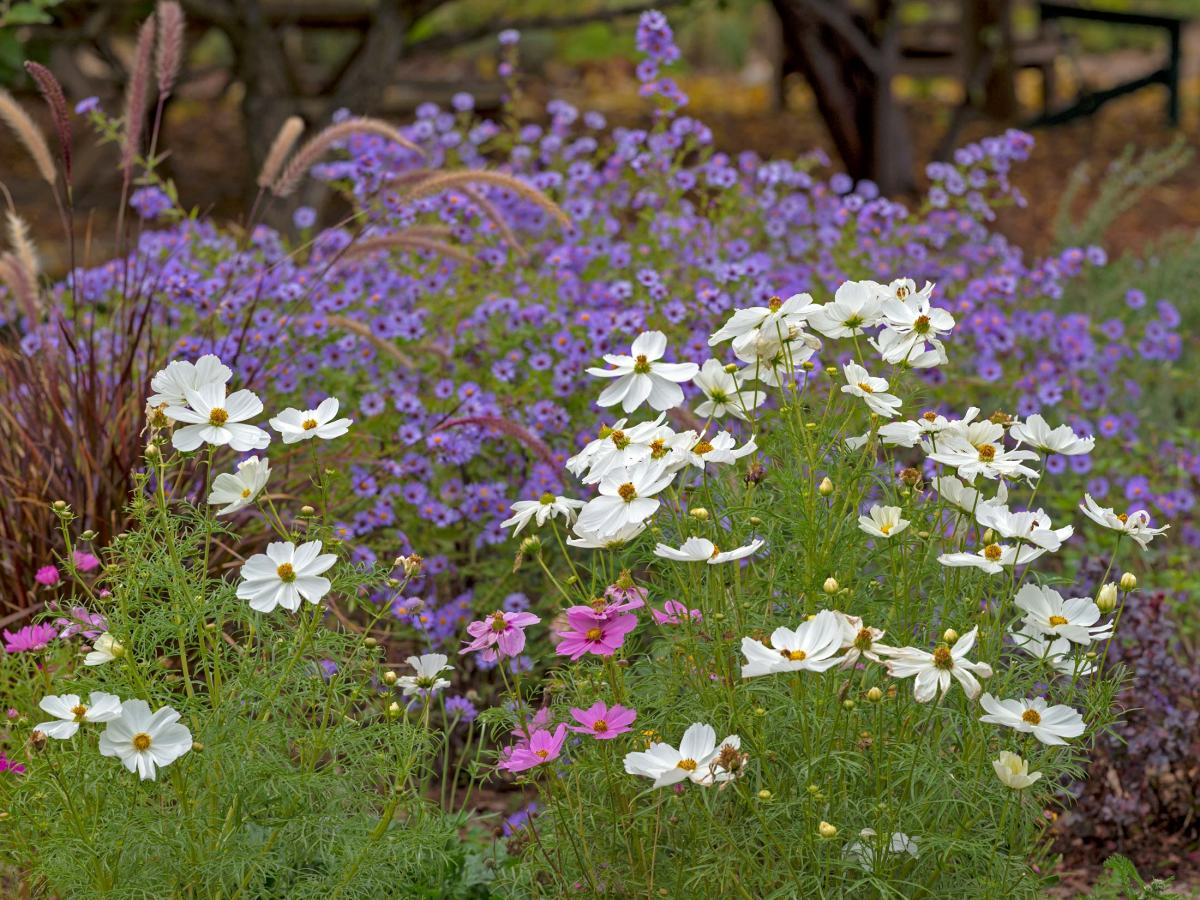 rd_cosmos-aster_d4s9263