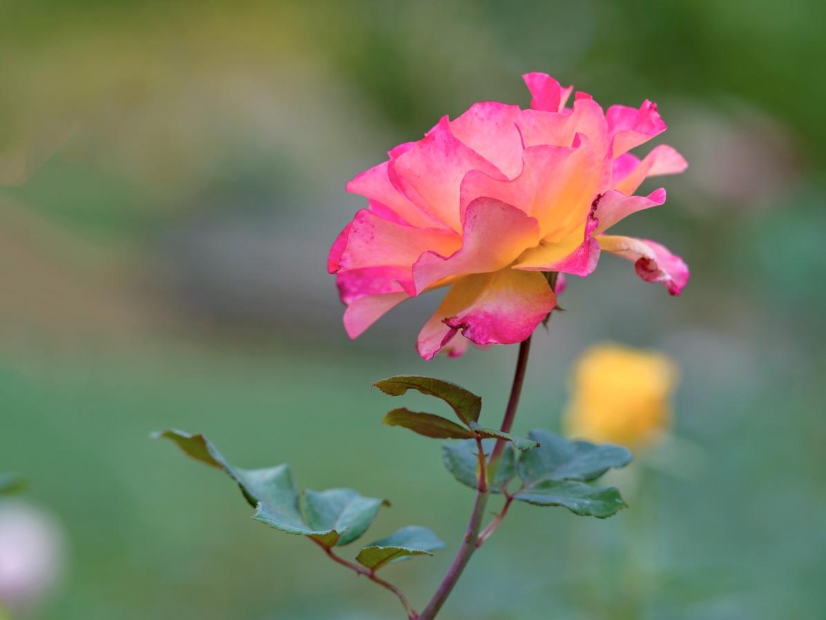 rd_rose_d4s9303