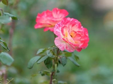 rd_roses_d4s9288