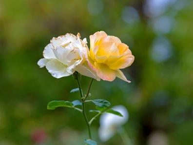 rd_roses_d4s9300