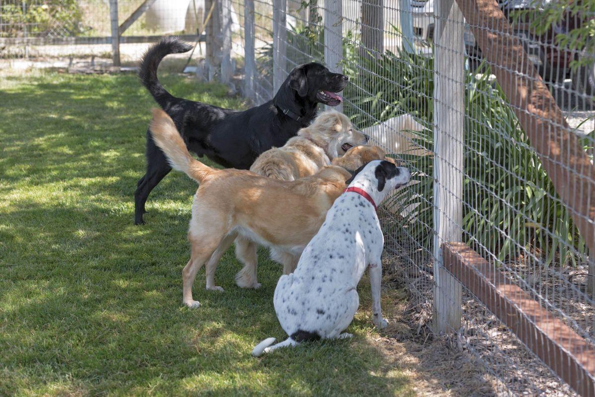 Cheif Rescue Dog Staffy Cross