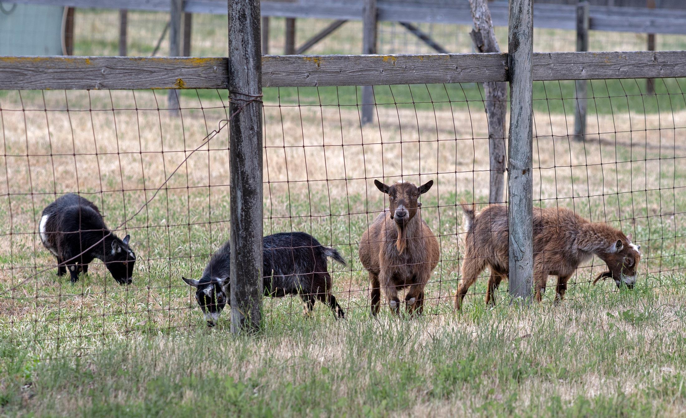 rd_goats_8108376